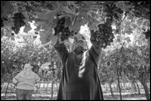 Immigrant Farm Workers Pull Leaves off Vines in a Coachella Valley Grape Vineyard